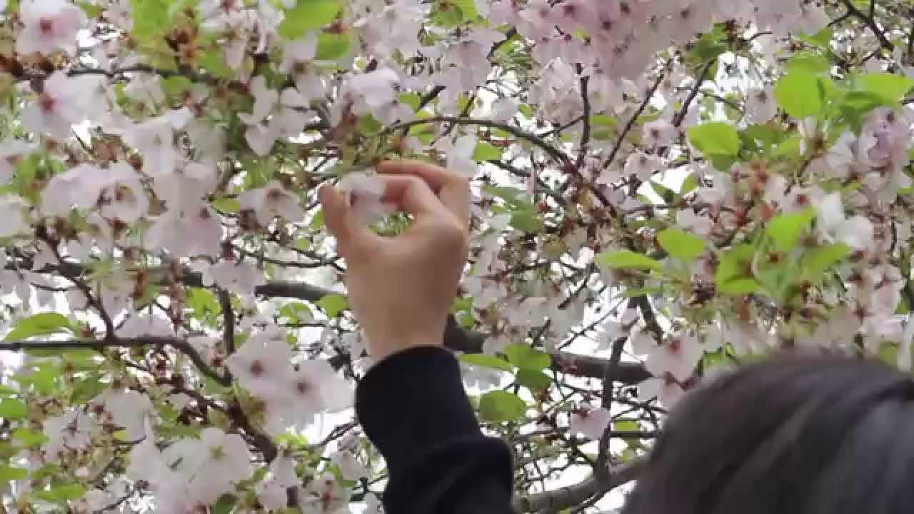 Ingin Lihat Bunga Sakura Mekar Tak Perlu Terbang Ke Jepang