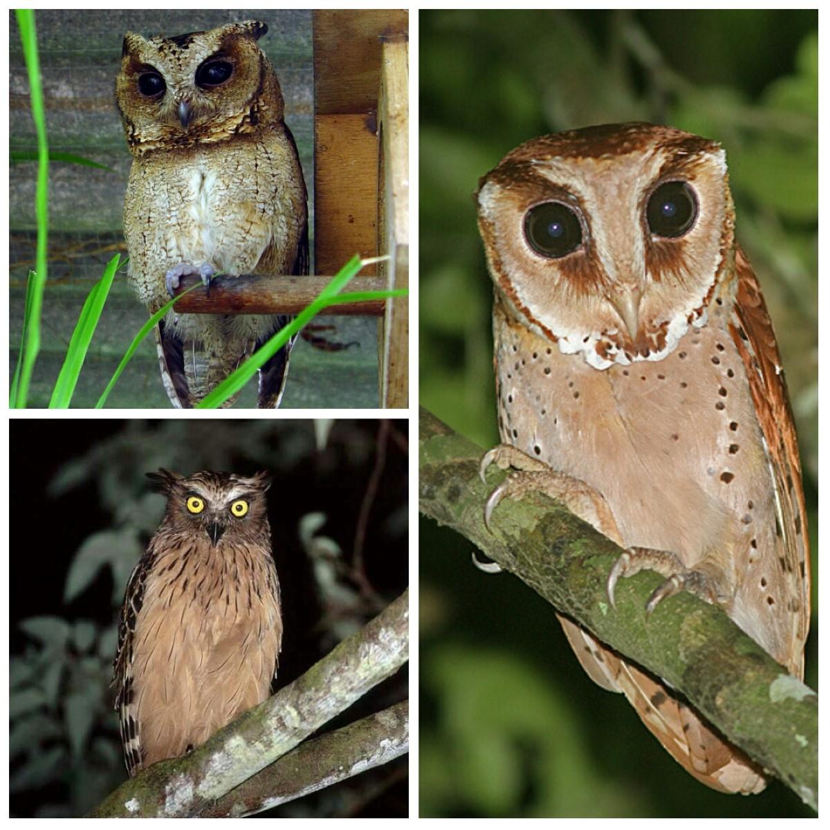 Burung Hantu Ada 56 Jenis 20 Endemis Indonesia Tiga Di Bali Bisniswisata